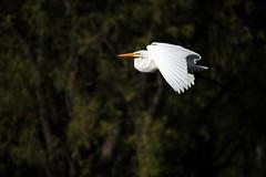 Garza Blanca (Lautaro Jerez) Tags: argentina fauna naturaleza ave bird pajaro vuelo canon canonista entrerios elpalmardecolon parquenacional