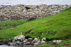 Otter (PhotoCet) Tags: photocet mammal otter eurasianotter lutralutra europeanotter commonotter