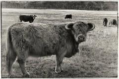 Handsome Highland lad (holly hop) Tags: cow animal beast bealiba ponderosa farm fence catlle 100xthe2017edition bw highlandlonghair longhair monochrome myplace sliderssunday