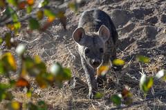 Hyena (Robert Styppa) Tags: hyena hyäne nikond610 afrika africa botswana mashatu tamron150600 robertstyppa