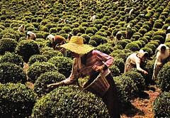 S. Milguel Island - Tea