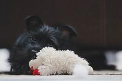 Proxy meets Lambchop (JBirdPerched) Tags: dog black yorkie puppy yorkiepoo lampchop