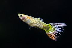 20170521-IMG_2685 (pixelGeko) Tags: aquarium nizam