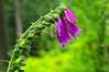 Digitale de forêt (Phil du Valois) Tags: digitale digitalis fleur forêt