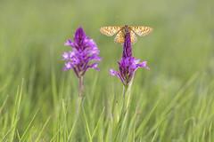 Queen of the camp (Rafael Díez) Tags: españa paisvasco alava moreda naturaleza macro orquídea flor rafaeldíez mariposa primavera