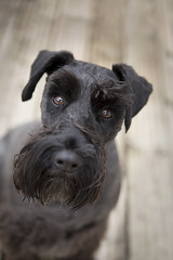 Lexie (JulieMorrish) Tags: schnauzer blackdog dog dogphotographer devon portrait