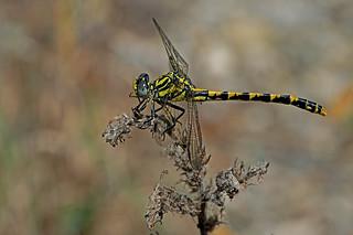 Onychogomphus uncatus - the Large Pincertail