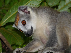 Mada (286).jpg (fatwaller) Tags: mamifère lémurien animal nature madagascar terrestre afrique