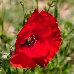 Umbria - Parco di Colfiorito - Papavero (adzamba) Tags: 2017 colfiorito umbria italy ita fiorerosso papaverrhoeas parcodicolfiorito poppy redwildflower stradacomunalediforcatura