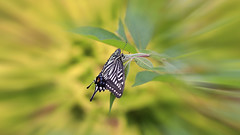 Swallowtail Butterfly (Johnnie Shene Photography(Thanks, 2Million+ Views)) Tags: swallowtailbutterfly swallowtail butterfly oldworldswallowtail papiliomachaon papilio insect bug nature natural wild wildlife livingorganism tranquility animal highangle depthoffield isolated macro closeup magnified interesting awe wonder fulllength lepidoptera wings limbs perching resting bokeh blur lighteffect day daylight spring sideview photography outdoor horizontal colourimage fragility freshness nopeople foregroundfocus adjustment feeler rearview canon eos80d 80d tamron 90mm f28 11 lens 호랑나비 산호랑나비 나비 곤충 접사 매크로