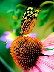 Strike a Pose (barbara_donders) Tags: natuur nature spring lente butterfly vlinder bloem flower flowerhead oranje orange prachtig mooi magical beautifull beauty