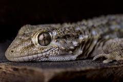 Geko (marcello.machelli) Tags: geco geko nikon sigma nikond810 macro reptile rettile sigmaapomacro15028