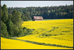 Farming (mmoborg) Tags: yellow field raps sweden mmoborg landscape