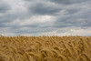 Wheat field on a windy day. (Azariel01) Tags: 2017 feluy belgique belgium hainaut céréales cereals field champ wheat blé paysage landscape