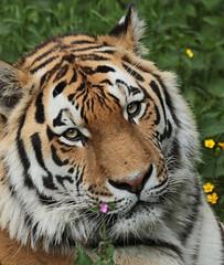 amurtiger taymir Ouwehands JN6A3782 (joankok) Tags: tiger tijger amoertijger amurtiger siberischetijger siberiantiger pantheratigrisaltaica ouwehands kat cat mammal zoogdier dier animal asia azie