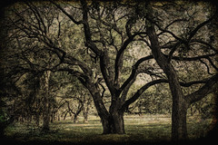 Ancient Oaks (Scott Sanford) Tags: 6d canon ef2470f28l eos hillcountry landscape lightandshadow naturalbeauty naturallight nature outdoor summer sunlight texas topazlabs beautiful trees vignette texture