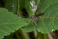 Ichneumon wasp #2 (Lord V) Tags: macro bug insect wasp ichneumon
