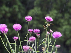 in the rain (murozo) Tags: flower thistle rain green nikaho akita japan ノアザミ 花 雨 緑 植物 plant にかほ 秋田 日本