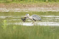 Heron (Ardea cinerea) (Baldyal) Tags: heron bird wildlife venus pool shropshire