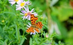 Fluttering By...... (law_keven) Tags: commabutterfly butterflies butterfly insects insect gardens garden london england uk flowers plants