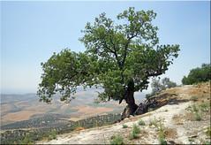 the sacred tree (mhobl) Tags: tree therebinte fes sanctuary maroc