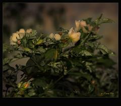 Wildrose (Tauras Caio) Tags: rose strauch tau morgentau wildrose