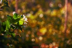 Natural creativity (Danilo Agnaioli) Tags: gelsomino umbria natura verde estate trioplan bokeh