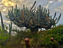 The Cacti of Necker Island (jurvetson) Tags: necker island private richard branson philanthropy giving social causes weekend retreat big gratitude cactus tree