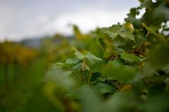 giribaldi_35 (sassiitalytours) Tags: wine piemonte castle rodello langhe altalanga vino winetours