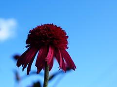Red Cone Flower (Will.Mak) Tags: red cone flower blue sky olympus em1 olympusm25mmf12 25mmf12 25mm f12 willmak