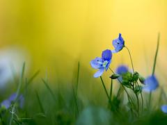 ~ Reverie ~ (SteffPicture) Tags: grün blume flower gelb farbig floral gras grass graslandschaft grassland macrodreams macro eos eosm5 canon canonef100mm128lmacroisusm steffpicture