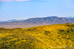 Panorama Hills & Caliente Mountain Range, Carrizo Plain National (Gary Rides Bikes) Tags: asteraceae calienterange california carrizoplain carrizoplainnationalmonument monolopia monolopialanceolata northamerica panoramahills sanluisobispocounty springtime temblorrange usa beautyinnature daisy daisyfamily day flower goldcolored goldfield hill hillsidedaisy idyllic inbloom landscape nature nopeople plain plant remote rollinglandscape scenicsnature wildflower yellow