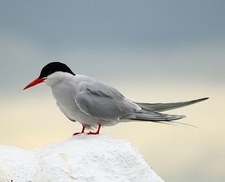 Arctic Tern on white