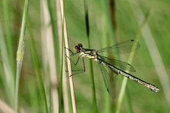 leste dryade ( Lestes dryas ) Erdeven 170617b2 (papé alain) Tags: insectes libellules odonates lestedryade lestesdryas erdeven morbihan bretagne france