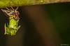 Escarabajo Espina, transformándose (Yures) Tags: escarabajoespina macro metamorfosis insectos