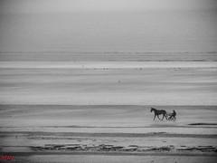 Le trotteur 2 (MRI2009) Tags: cheval trotteur merdunord mer plage nieuwpoort