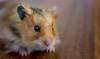 Hamster Closeup (Jonathan Simonsen) Tags: hamster small cute closeup eyes black brown little canon canon750d 750d eos dslr lightroom edited pet animal