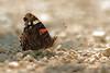 Vanessa atalanta - le Vulcain (didier.bier) Tags: vulcain vanessaatalanta papillon butterfly schmetterling lepidoptera lépidoptère nymphalidae nymphalinae jura franchecomté 39 france eos80d 100mmmacrof28 canon macro insecte insect