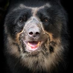 Beary Close-Up (helenehoffman) Tags: turbo spectacledbear bear conservationstatusvulnerable mammal sandiegozoo southamerica tremarctosornatus andeanbear ursidae sunrays5