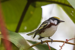 Chestnut-sided Warbler (J.B. Churchill) Tags: birds cswa costarica heredia laselvaotsreserve places taxonomy warblers cr laselva