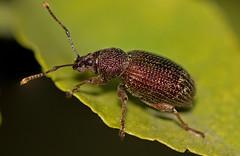 Black Vine Weevil (elderkpope) Tags: canon macro close insect insects bug bugs weevil beetle nature outdoors backyard utah desert ngc macrodreams