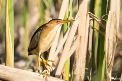 ''Mister Blongios!'' Petit Blongios-Ixobrychus exilis (pascaleforest) Tags: oiseau bird animal passion nikon nature wild wildlife faune québec canada léonprovencher matin moorning
