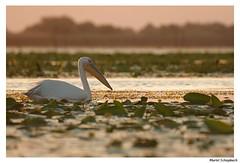 Pelican blanc (muriel.schupbach) Tags: murielschupbach mscphotoblog4evercom pélicanblanc coucherdesoleil delta rosé nénuphar oiseaublanc