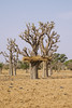 Baobab (CIFOR) Tags: africa trees baobab burkinafaso dryforests environmentalimpact loagavillage verticals climatechange cifor reforestation dry boulkiemdé centreouest bf