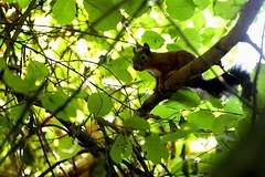 Ombra fresca (carlo612001) Tags: squirrel redsquirrel nature wildlife scoiattolorosso scoiattolo rosso oasidisantalessio oasi tree ombra ombrafresca foglie frescura cute carino