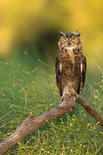 Perched Great Horned Owl - Juvi
