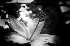 writhing with virility (Super G) Tags: sony005 hibiscus bw blackandwhite flowers iaovalley bokeh hawaii maui