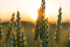 Wheat in the sunset (Theo Crazzolara) Tags: wheat weizen crop cereal grain getreide sun sunset sonnenuntergang orange evening dusk nature macro contrast beautiful seed sonne summer sommer