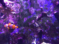 (eyair) Tags: ashmashashmash uk london england dulwich hornimanmuseum aquarium fish clownfish