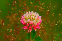 IMG_012145 - Dancing in the breeze (Monique van Gompel) Tags: hbw 7dwf flora tamronsp90mmf28dimacro11vcusd tamronsp90mm flowers macrofotografie macrophotography natuurfotografie naturephotography breeze wind dancing dancingflowers morningbreeze